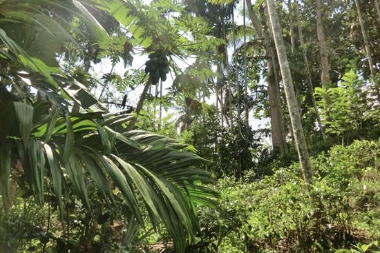 茶畑のバナナ、ココナッツ、マンゴーなど