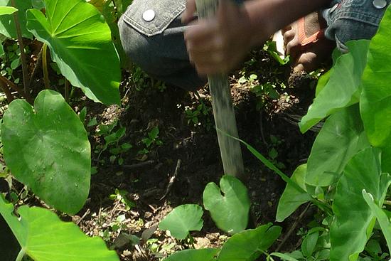 植えるための穴を開けます。鉄の棒で穴掘り
