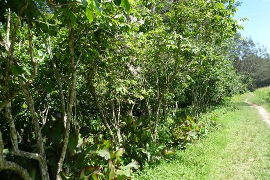 道沿いに生えているコーヒーの木
