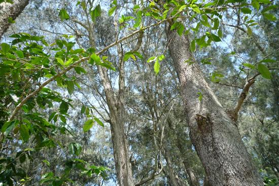 コーヒーの木の間にあるシェードツリー