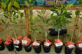 植林する苗