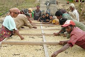 コーヒー豆の天日干し風景