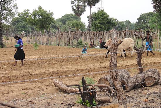 カルナドゥカーニ村でのピーナツの種まき風景