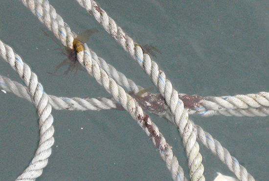 ワカメ種糸が挟み込まれた養殖親縄