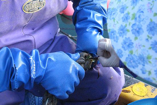 ワカメ種糸の挟み込み作業
