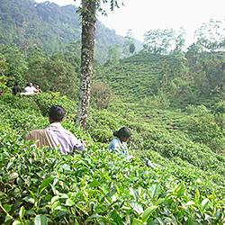 スリランカ南部 マータラ県キリウェラガマ 紅茶スタディーツアー2014 イメージ