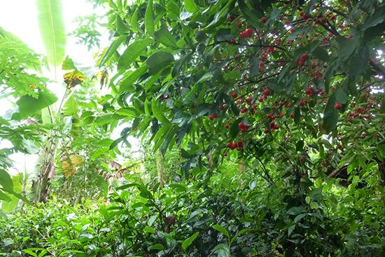 茶畑、なのですが。ジャンブ(ローズアップル)の実がたわわ。向こう側にはパパイヤの木とバナナの木も見えます。