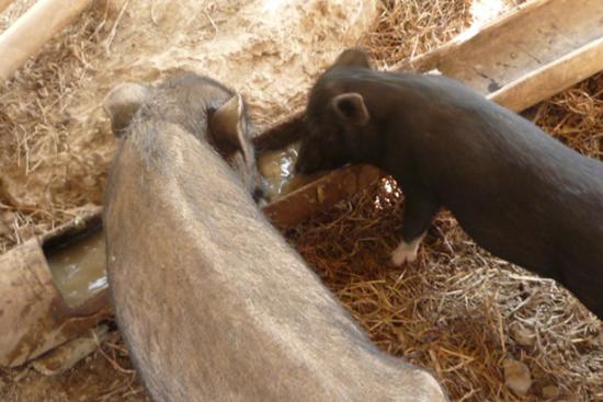 火入れしたエサを食べる豚