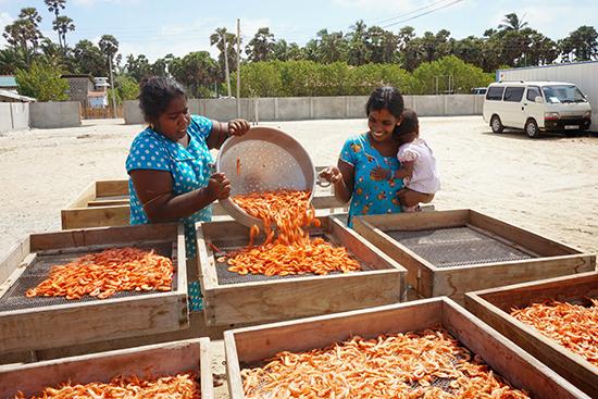 ジャフナ・ヴェラナイの乾燥エビ加工場