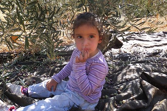 低いところのオリーブの収穫は子どもたちもお手伝い