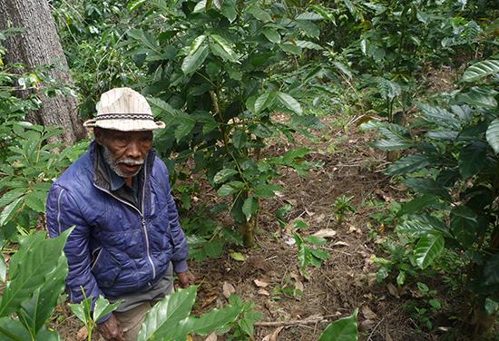 コーヒー畑再生のため、昨年台きりしたコーヒーの木