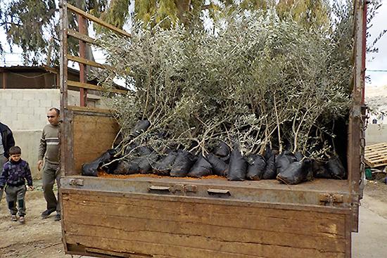 植樹前日。北部のカルキリヤから樹齢2年の元気なオリーブの苗を調達。
