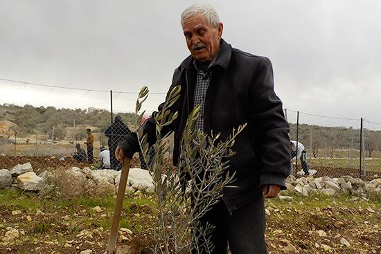 植え付けたオリーブの苗木を見つめる農家のダウードさん