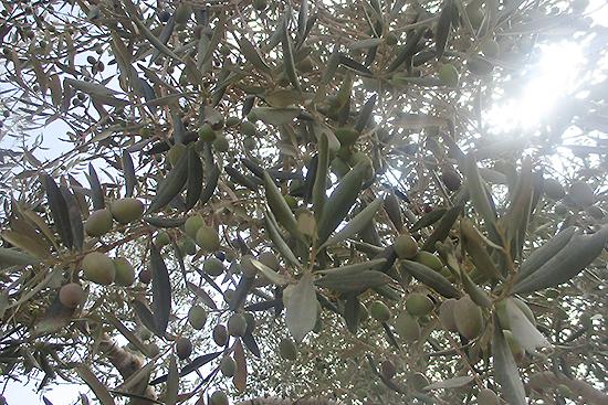 収穫時期にたわわにオリーブの実が実りますように