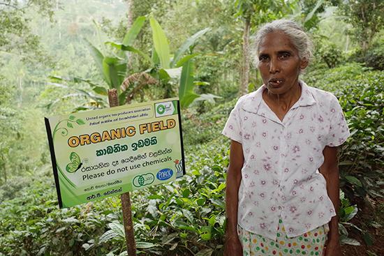 デニヤヤの有機認証を受けた紅茶畑