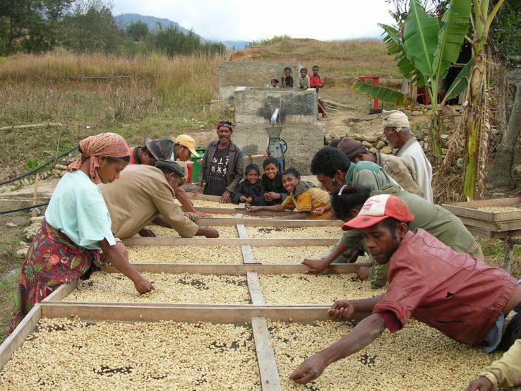 東ティモール マウベシ コーヒー豆の天日干し