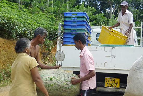 生茶葉はトラックに載せる前に、運搬チームが重さを計測し、茶葉の品質のチェックもします。