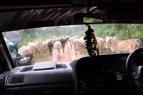 牛の大群で前に進めません