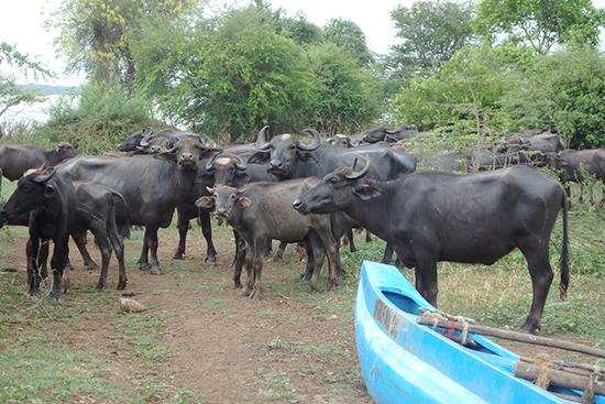 事業地の池の畔で出会った水牛。「あいつ誰?」って感じでこちらを見ています