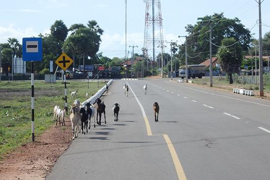 事務所近くで見かけたヤギの群れ