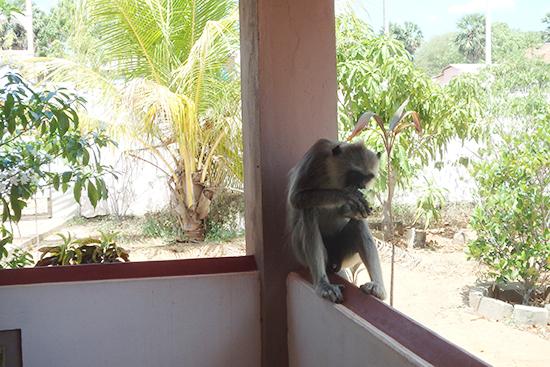 私が住んでる家に来たサルの写真です。視線を感じてふと窓に目をやるとサルが家の中を覗き込んでいて、鳥肌が立ちました。このタイプのサルが時々事務所に来ます。