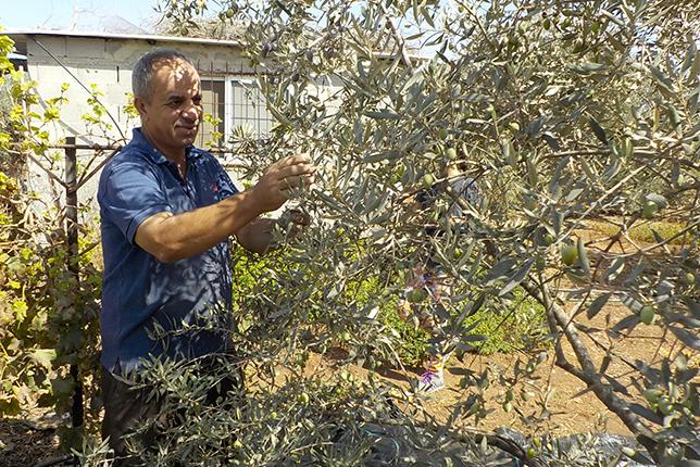 丁寧にオリーブを収穫していくサーデク