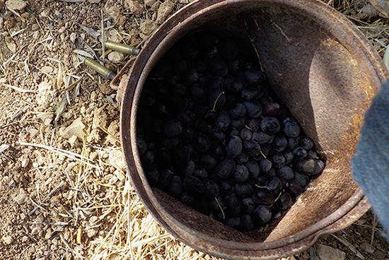 オリーブの入ったバケツのわきに薬莢がある。オリーブ畑にイスラエル兵が入ってくることもあるという