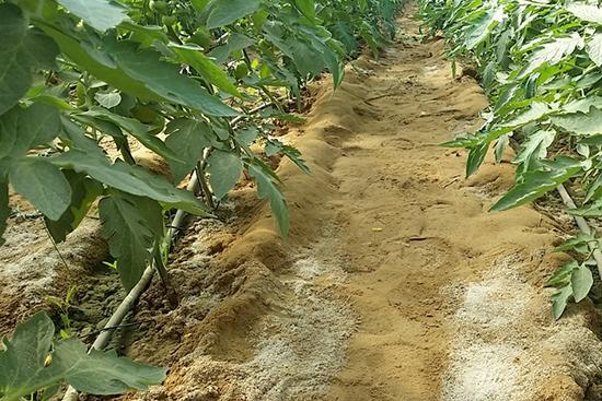灌漑用水の塩分が白く固まっている様子