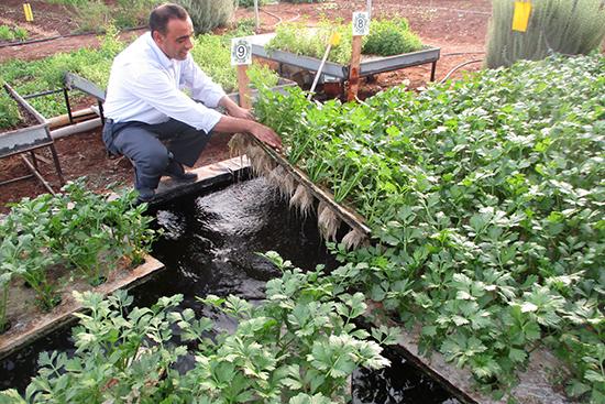 水耕栽培で作られるセロリ