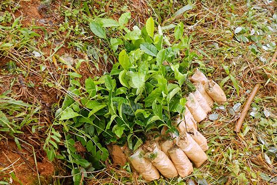 茶の苗…この日は植えたのは200本ほど