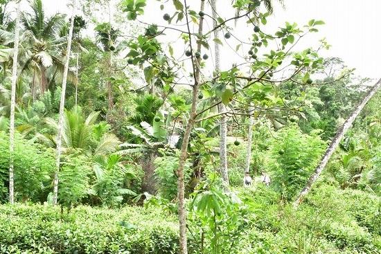 エクサメンバー宅のアボカドの木
