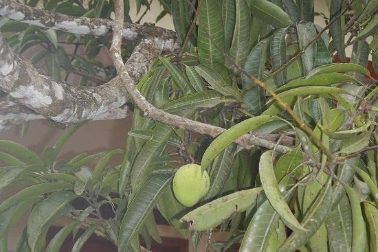 実がついたばかりで小さいマンゴー