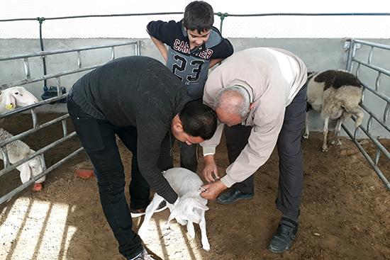 子羊の検診と予防接種を行う獣医さん