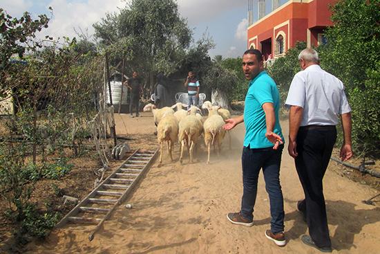 羊を小屋まで護送