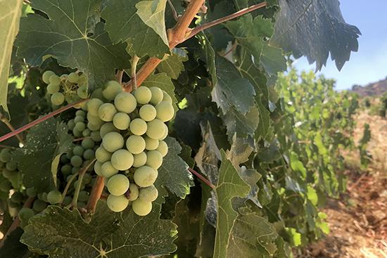 ブドウ畑の様子。収穫後ワインになるまでさらに数年を要します。