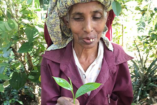 「一芯二葉(若い芽とその下の柔らかい2枚の葉だけ摘む)」で摘んだ茶葉